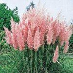 100pcs New rares impressionnants Pampas pourpre herbe semences de plantes ornementales jardin potager Plantes graines Fleurs pot herbe de la pampa bonsaï 4 de la marque SVI image 1 produit