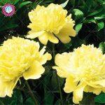 10pcs rares graines d'arbres pivoines blanc Bonsai Paeonia lactiflora Graines de fleurs vivaces de jardin en pot plants.semillas de flores 1 de la marque SVI image 2 produit