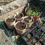 Augola biodégradable Fibre Pots de semences pour semis avec 100 pcs Plastique étiquettes pour plantes de la marque Augola image 3 produit